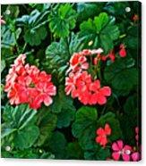 Coral Geraniums At Pilgrim Place In Claremont-california   Acrylic Print