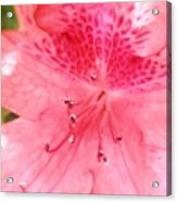 Coral Pink Azalea Goodness Acrylic Print