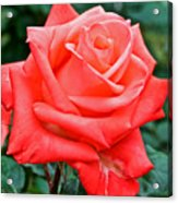 Coral Rose At Pilgrim Place In Claremont-california   Acrylic Print
