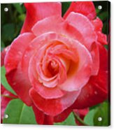 Coral Rose Acrylic Print