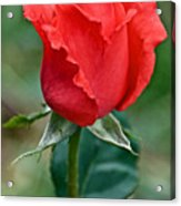 Coral Rosebud At Pilgrim Place In Claremont-california   Acrylic Print