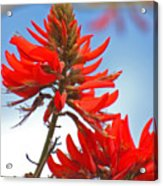 Coral Tree Blooms Acrylic Print