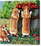 Corgi Apple Harvest Pembroke Welsh Corgi Puppies Acrylic Print by Lyn Cook