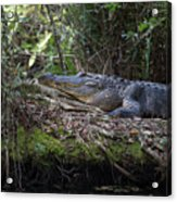 Corkscrew Swamp - Really Big Alligator Acrylic Print