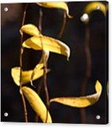 Corkscrew Willow Acrylic Print