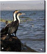 Great Rift Cormorants Acrylic Print