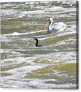 Cormorant And Pelican Acrylic Print
