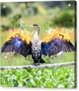Cormorant Dries Its Wings Acrylic Print