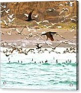 Cormorant Flight In Frenzy Acrylic Print