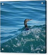 Cormorant In The Water Acrylic Print