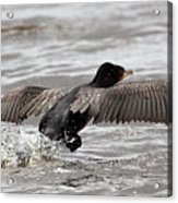 Cormorant Taking To The Air Acrylic Print