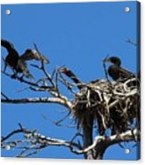 Cormorant Teenager In Nest Begging For Food Acrylic Print