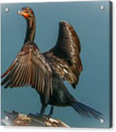 Cormorant Wings Acrylic Print