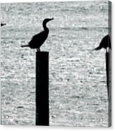 Cormorants Port Jefferson New York Acrylic Print