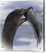 Cormorant's Whopper Dive Catch Acrylic Print