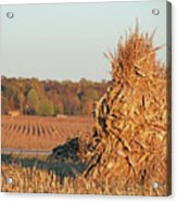 Corn At Harvest Acrylic Print