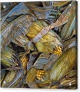 Corn Crops Acrylic Print