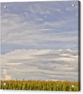 Corn Field In Sunset II Acrylic Print