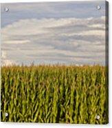 Corn Field In Sunset Acrylic Print