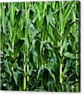 Corn Field's First Row Acrylic Print
