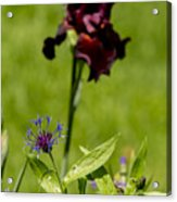 Corn Flower With A Friend Visiting Acrylic Print