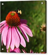 Corn Flower With Bee Acrylic Print