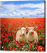 Corn Poppies And Twin Lambs Acrylic Print by Meirion Matthias