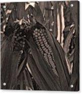 Corn Portrait Acrylic Print