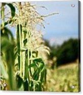 Corn Rows Acrylic Print