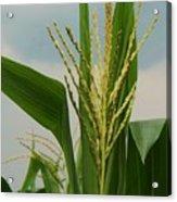 Corn Stalk Acrylic Print