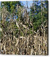 Corn Stalks Drying Acrylic Print