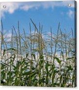 Corn Tassels In The Sky Acrylic Print