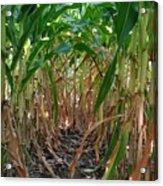 Corn Tunnel Acrylic Print