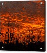 Corn Under A Fiery Sky Acrylic Print