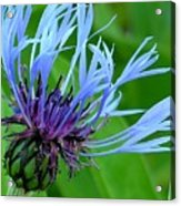 Cornflower Centaurea Montana Acrylic Print