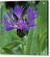 Cornflower Purple Surprise V2 Acrylic Print