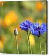 Cornflowers -1- Acrylic Print by Issabild -