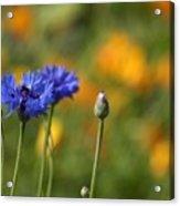 Cornflowers -2- Acrylic Print by Issabild -