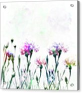 Cornflowers Watercolor  Acrylic Print
