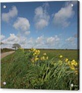 Cornish Daffodil Hedge Acrylic Print