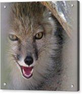 Corsac Fox- Vulpes Corsac 01 Acrylic Print
