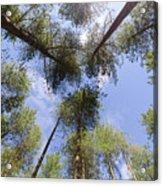 Corsican Pine Canopy Acrylic Print