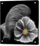 Cosmea Bloom Acrylic Print