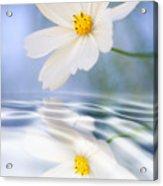 Cosmea Flower - Reflection In Water Acrylic Print