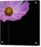 Cosmos On Black Acrylic Print