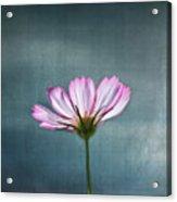 Cosmos - Summer Love Acrylic Print