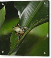 Costa Rica Red Eye Frog I Acrylic Print