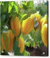 Costa Rica Star Fruit Known As Carambola Acrylic Print