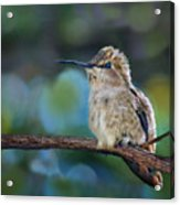 Costa's Hummingbird - Square Acrylic Print