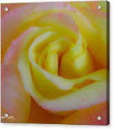 Cotton Candy Roses Acrylic Print